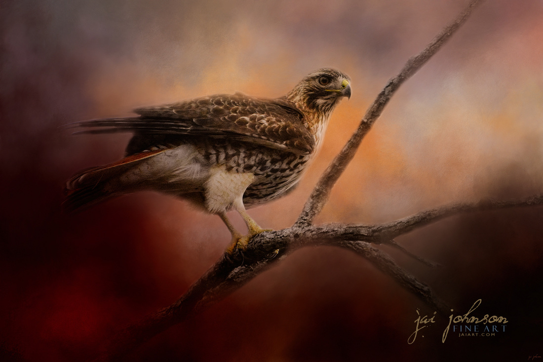 Red Tail Over The Road - hawk wildlife art