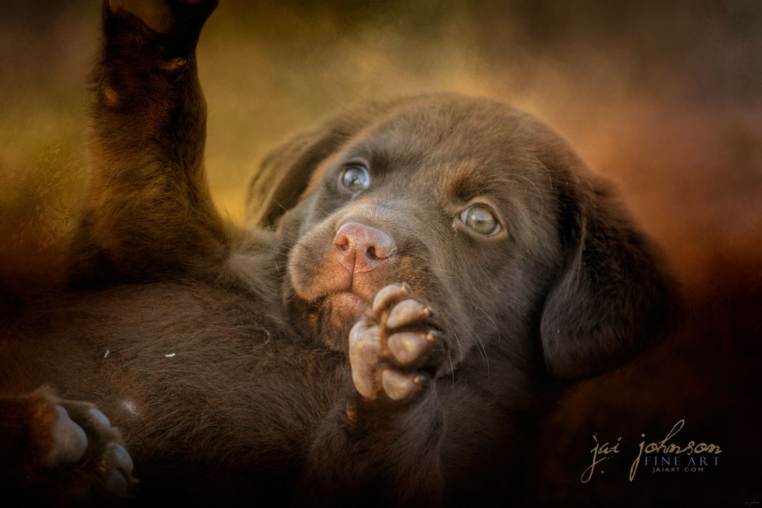 Welcoming The Sun - Chocolate Lab Puppy art